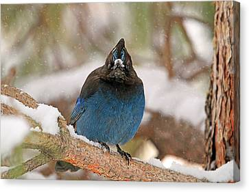 The Mad Blue Jay Canvas Print by Donna Kennedy