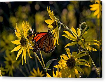 The Monarch And The Sunflower Canvas Print by Rick Berk