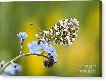 The Orange Tip Butterfly Canvas Print by Tim Gainey