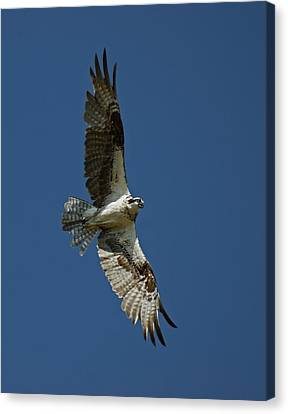 The Osprey Canvas Print by Ernie Echols