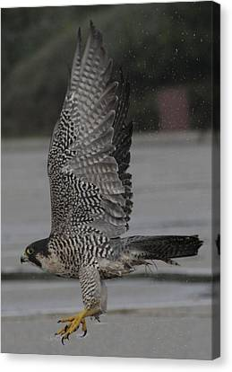 The Peregrine Falcon Canvas Print by Christopher Kirby