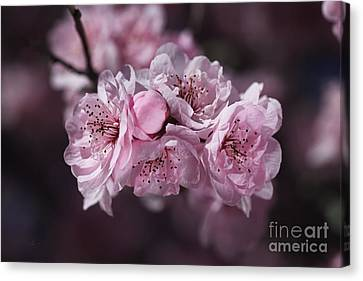 The Pink Blossom Of Prunus Canvas Print by Joy Watson