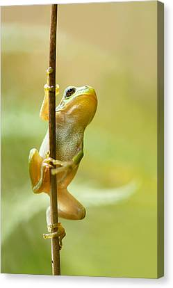 The Pole Dancer - Climbing Tree Frog  Canvas Print by Roeselien Raimond