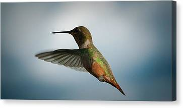 The Rare Green Backed Male Rufous Hummingbird Canvas Print by David Patterson