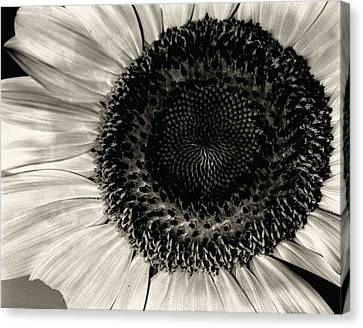 The Sunflower Canvas Print by Michael Wade
