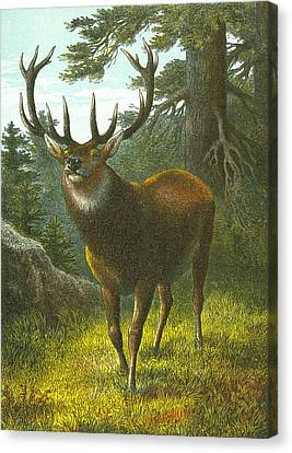 The Wapiti Canvas Print by English School
