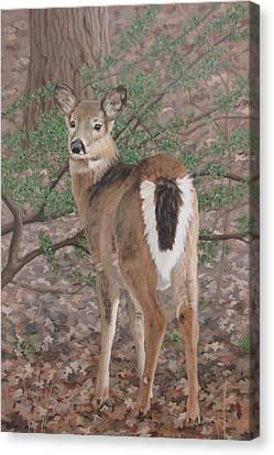 The Yearling Canvas Print by Sandra Chase