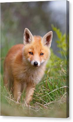 The Young And Eager Red Fox Kit Canvas Print by Roeselien Raimond