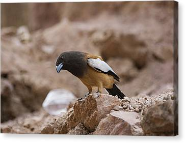 Thinking Treepie Canvas Print by Ramabhadran Thirupattur