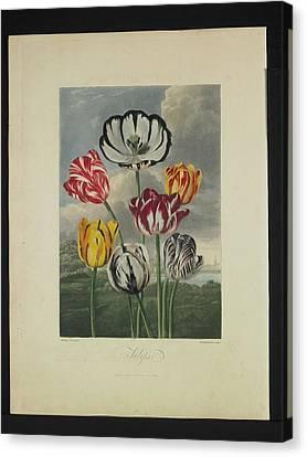 Thornton - Tulips Canvas Print by Pat Kempton