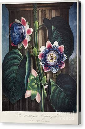 Thornton: Passion-flower Canvas Print by Granger