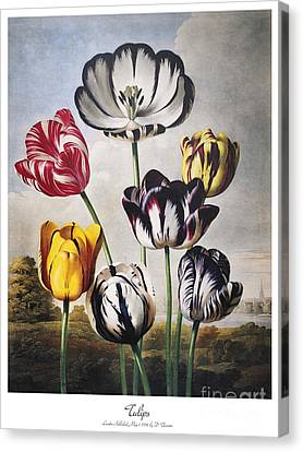 Thornton: Tulips Canvas Print by Granger