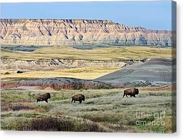 Three Bison Bulls Canvas Print by Tom & Pat Leeson