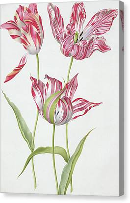 Three Broken Tulips Canvas Print by Nicolas Robert