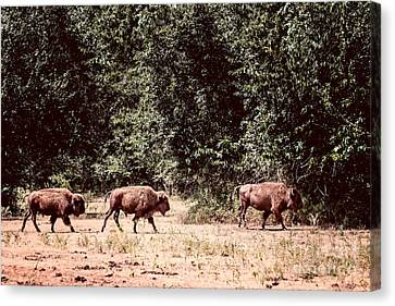 Three Buffalo On The Reserve Canvas Print by Tamyra Ayles