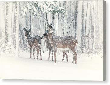 Three Deer Come Calling Canvas Print by Karol Livote