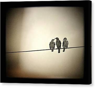 Three Little Birds Canvas Print by Trish Mistric