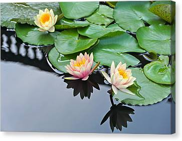Three Lovely Hardy Waterlily Blossoms Canvas Print by Byron Varvarigos