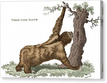 Three-toed Sloth, Historical Etching Canvas Print by Science Source