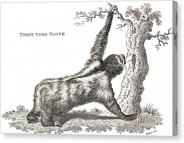 Three-toed Sloth, Historical Etching Canvas Print by Wellcome Images