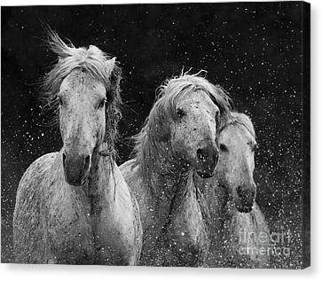 Three White Horses Spalsh Canvas Print by Carol Walker
