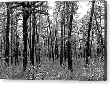 Through The Pinelands Canvas Print by John Rizzuto