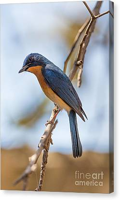 Tickells Blue Flycatcher, India Canvas Print by B. G. Thomson