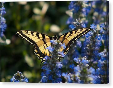 Tiger Butterfly Visiting Ajuga Canvas Print by Douglas Barnett
