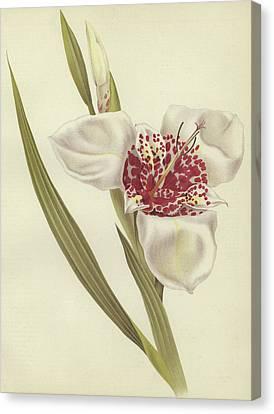 Tiger Flower   Tigridia Pavonia Alba Canvas Print by English School