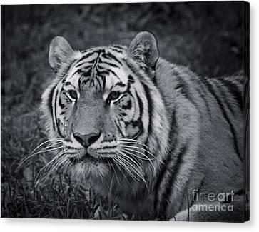 Tiger In The Grass Canvas Print by Darcy Michaelchuk