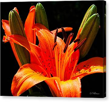 Tiger Lily Canvas Print by Christopher Holmes