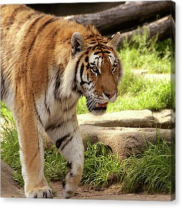 Tiger On The Hunt Canvas Print by Gordon Dean II