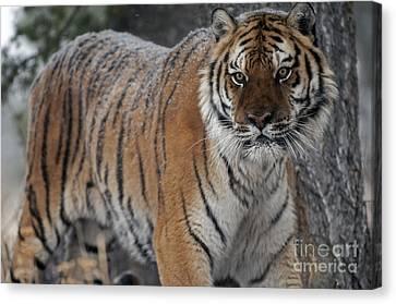 Tiger - Siberian Canvas Print by Wildlife Fine Art
