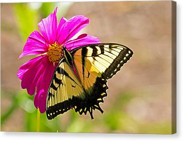 Tiger Swallowtail Butterfly. Canvas Print by David Freuthal