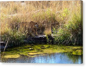 Tigress By The Stream Canvas Print by Ramabhadran Thirupattur