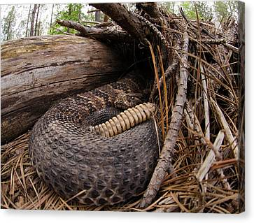 Timber Rattlesnake Canvas Print by Eric Abernethy