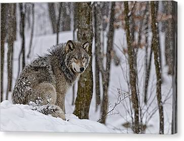 Timber Wolf In Winter Canvas Print by Michael Cummings