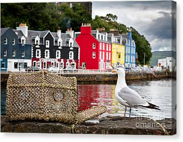 Tobermory Seagull Canvas Print by Jane Rix