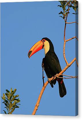Toco Toucan Canvas Print by Bruce J Robinson