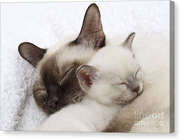 Tonkinese Cat And Kitten Canvas Print by Jean-Michel Labat