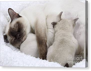 Tonkinese Cat And Kittens Canvas Print by Jean-Michel Labat