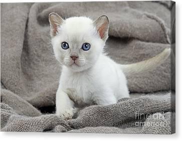 Tonkinese Kitten Canvas Print by Jean-Michel Labat
