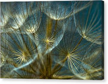 Translucid Dandelions Canvas Print by Iris Greenwell