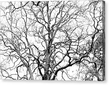 Tree Branches Canvas Print by Gaspar Avila