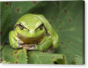 Tree Frog En Face Canvas Print by Roeselien Raimond