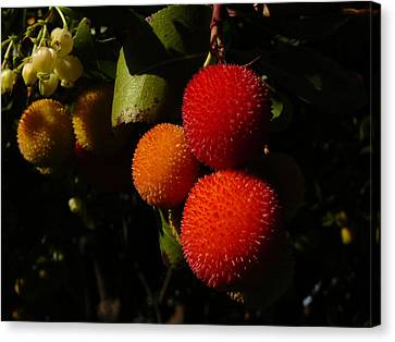 Tree Fruit Canvas Print by Terry Perham