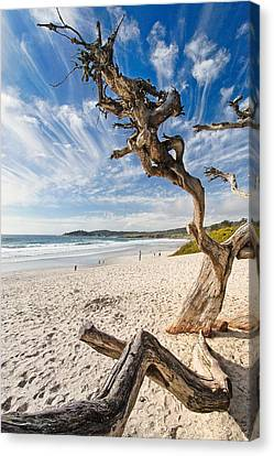 Tree On A Beach Carmel By The Sea California Canvas Print by George Oze