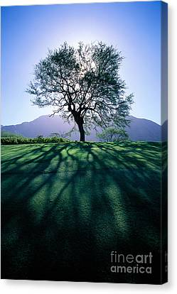 Tree On Grassy Knoll Canvas Print by Carl Shaneff - Printscapes