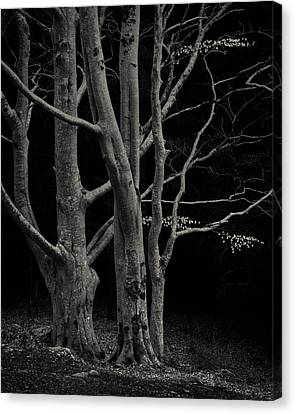 Beech Tree Canvas Print by Dave Bowman