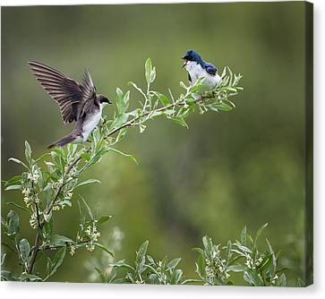 Tree Swallows Canvas Print by Bill Wakeley
